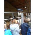 Visiting the bulls.