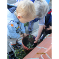 Planting pansies.