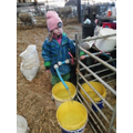 Helping with the lambing.