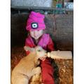 Bottle feeding a lamb.