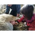 Milking a sheep.
