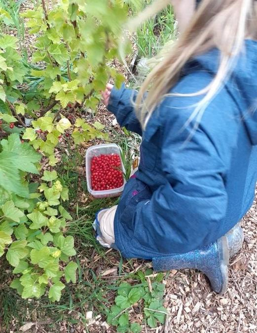Picking redcurrants at the allotment, great Ellie!