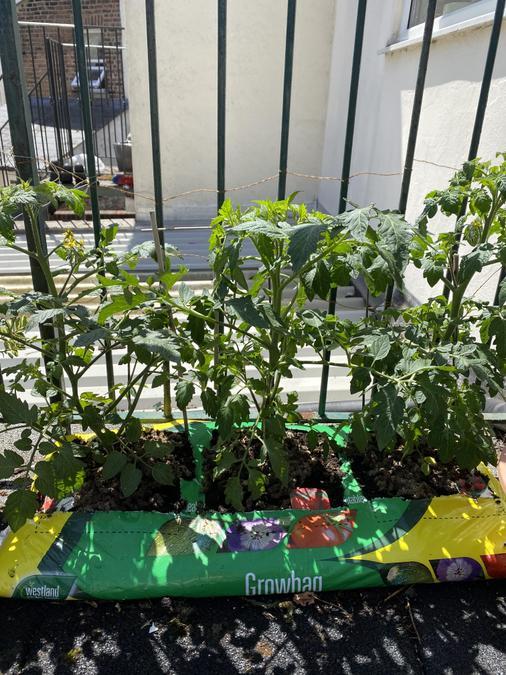 Mahdi's wonderful tomato plants.