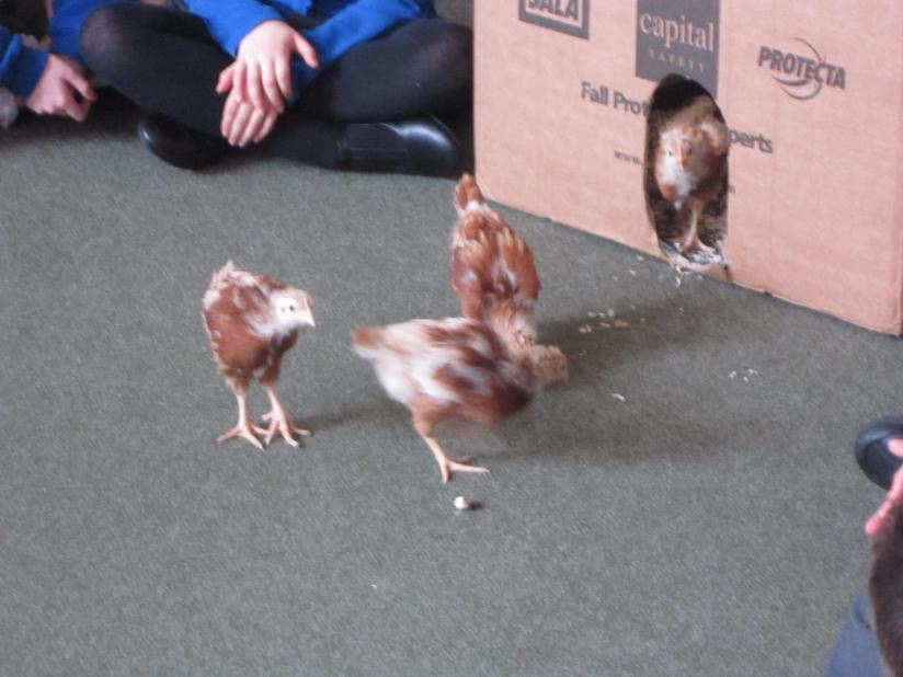 Our hens are growing quickly