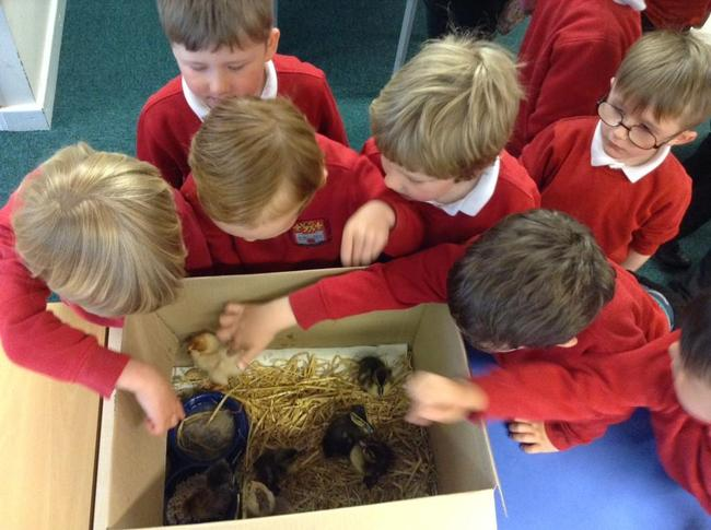 Some baby ducklings and chicks visited us!
