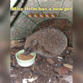 She also has a hedgehog visiting her garden/