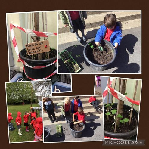 Planting a beanstalk to grow in our classroom.