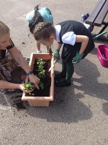Planting our Violas