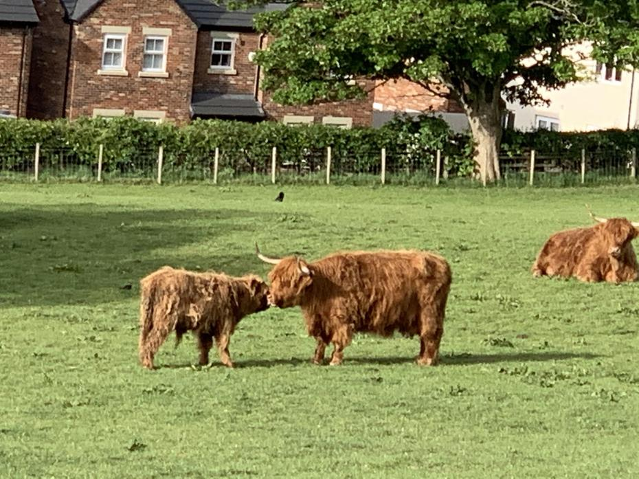 A highland cow and it's calf ( baby)