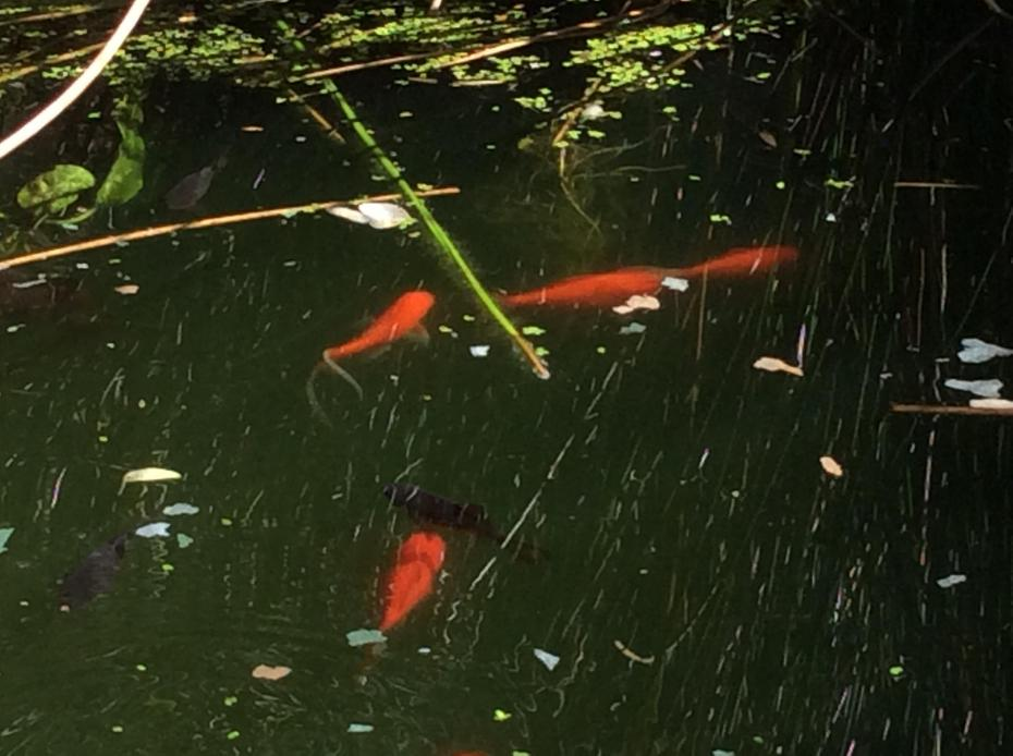 How many fish can you count in my pond?