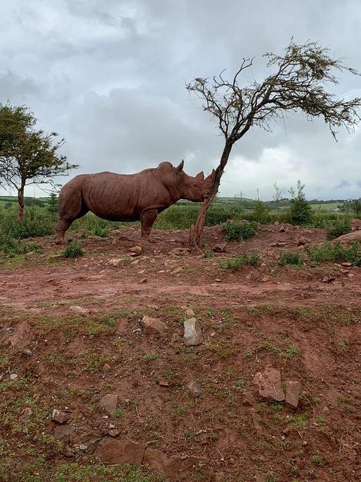 The rhino was scratching his head against the tree