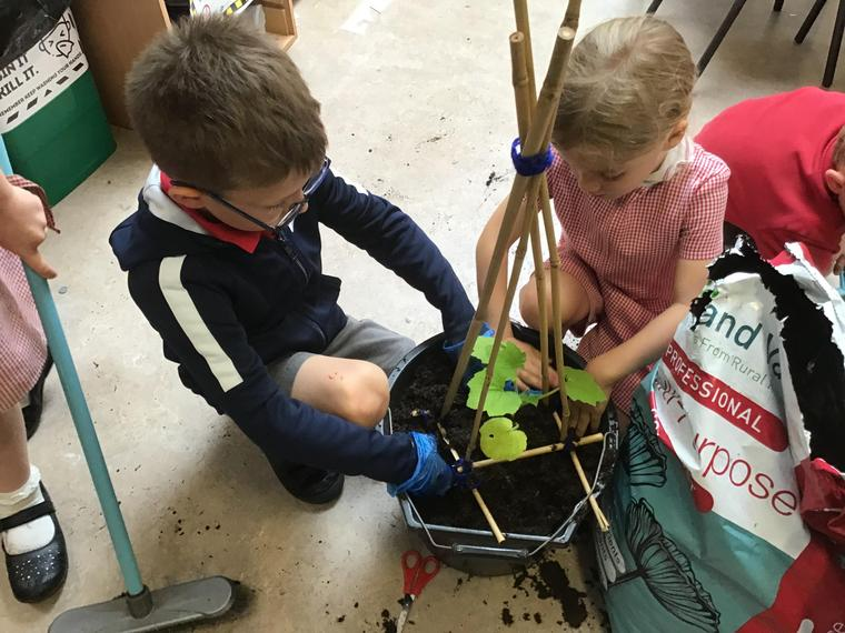 Repotting the courgette