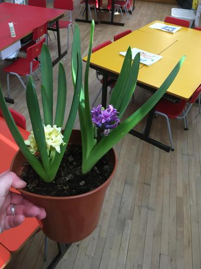 Look how our bulbs have grown! 🌸