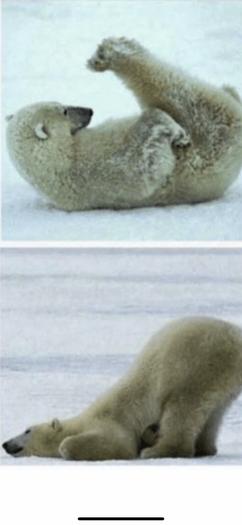 Can you pose like a polar bear?
