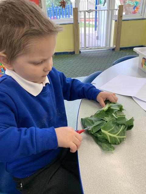 We cut up cabbage leaves.