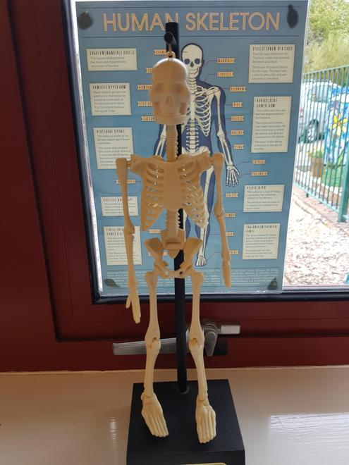 This is Mr. Skeleton, who will help us learn the bones in the body!