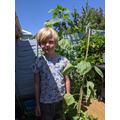 Rudy's sunflower