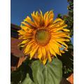 Aaron's sunflower