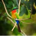 The African rainbow bird.