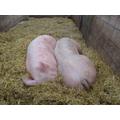 Snoozing pigs.
