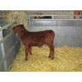 A young calf