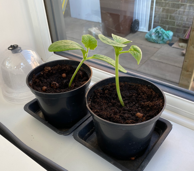 How tall will the sunflowers planted at home grow?