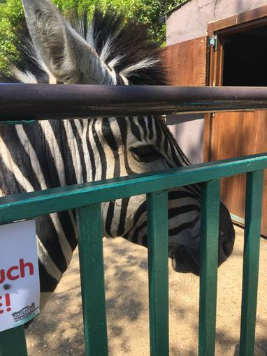The zebras came to say hello!