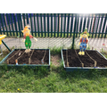 Our Gardening Club have been planting vegetables.