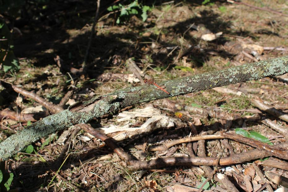 Common Darter dragonfly?