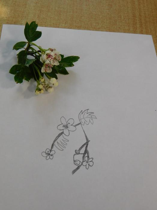 Freddie's observational drawing of blossom
