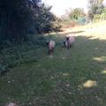 grazing in the school grounds