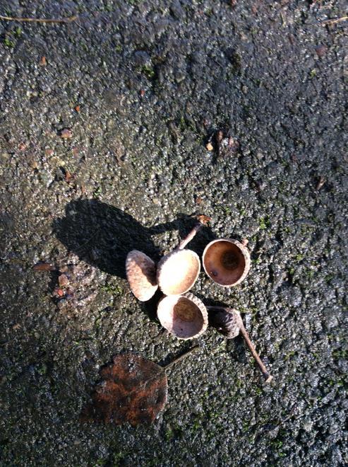 acorn shells