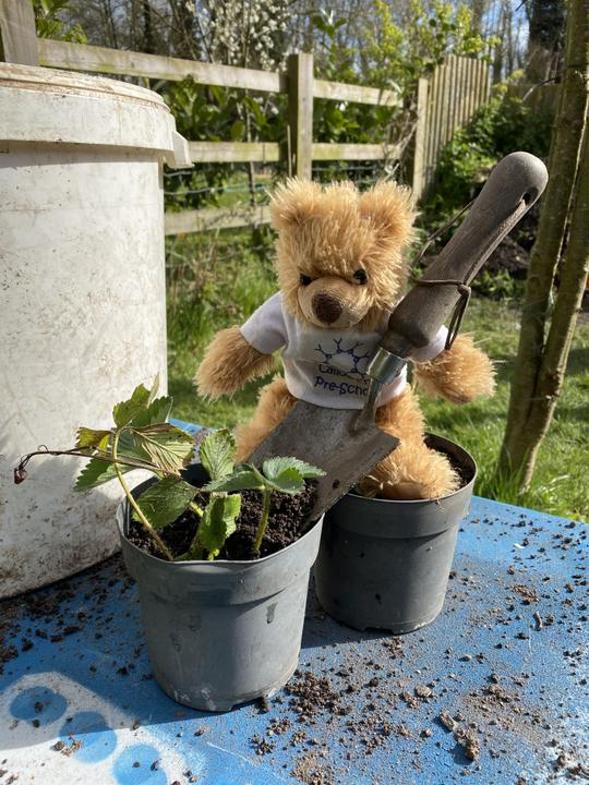 Helping to re-pot strawberry plants for school