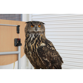 This eagle owl was nearly as big as us.