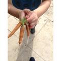 We grew some carrots!