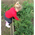 Picking tomatoes for snack time
