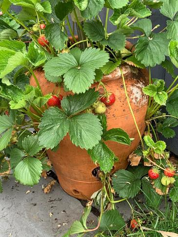 Growing our own strawberries