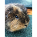 Ronnie, our guinea pig