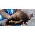 Looking after Sheldon our giant African land snail
