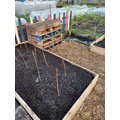 Starting to plant - raspberry canes