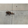Kade  - Chestnut Class