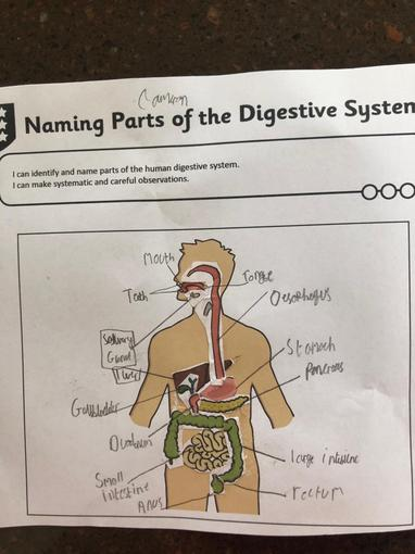 Cameron's Digestive system - labelled