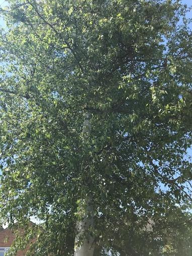 Elena's silver birch tree
