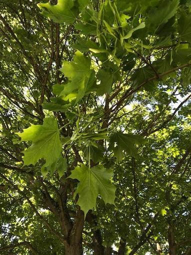 Elena's sycamore tree