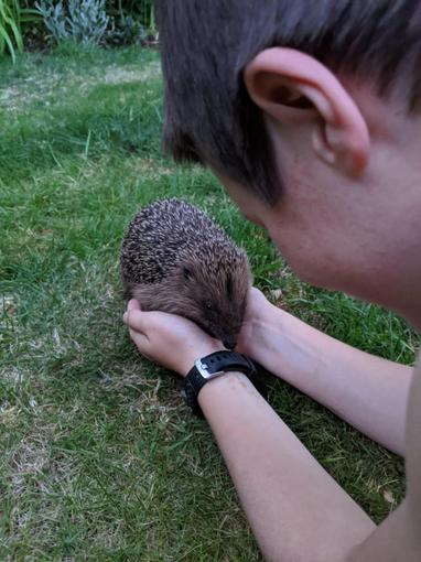 Harry's visiting hedgehogs