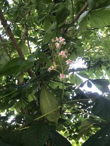 Elena's horse chestnut blossom
