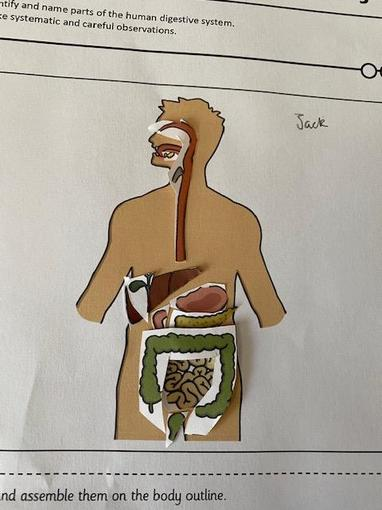 Jack's Digestive system cut out