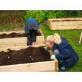 Week 1: Planting Onions