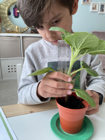 How is your sunflower? Is this the tallest?