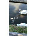 Beautiful swans and cygnets!